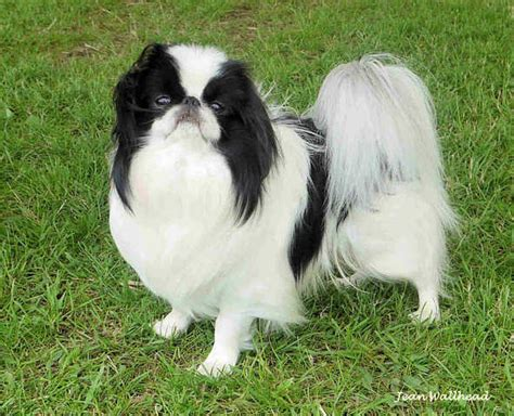japanese chin puppies for adoption japanese chin puppies breed for sale adoption from manila metropolitan area pasig