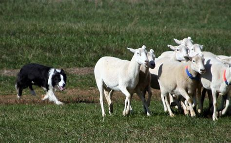 sheep herding dogs a sheep s herding instinct may teach robots a lesson in crowd