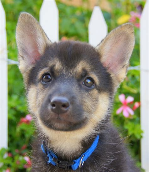 rottweiler rescue of los angeles shepherd mix puppies los angeles breeds picture
