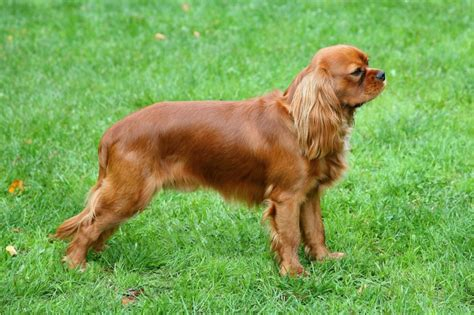 syringomyelia in dogs all about syringomyelia in dogs pets4homes