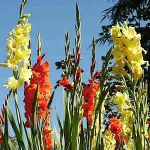 imagenes de flores gladiolas jardines 187 gladiolos