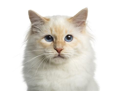 birman cat breed size appearance personality