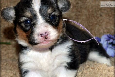 fluffy corgi puppies for sale meet cephra a corgi puppy for sale for 1 200 cephra fluffy wind farm