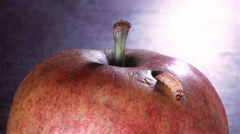 Schädlinge Am Apfelbaum 3521 by Sch 228 Dlinge Am Apfelbaum Sch Dlinge Am Apfelbaum Erkennen