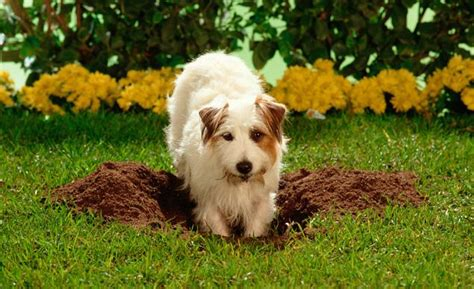 how to keep dogs from digging in flower beds 10 tips for gardening with dogs here s how to keep them