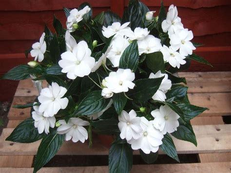 Nuova Guinea Fiore Sole by Impatiens Nuova Guinea Fiori In Giardino Imaptiens