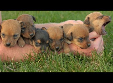 jagdterrier puppies for sale jagdterrier puppies for sale