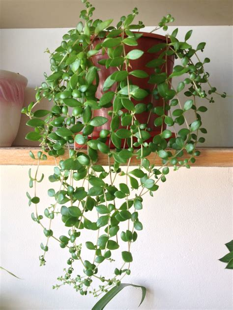 trailing succulent plants trailing string  nickels