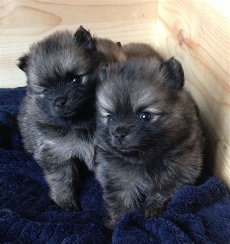miniature pomeranian puppies for sale in kc reg tiny tea cup pomeranian puppies for sale pomeranian miniature for sale