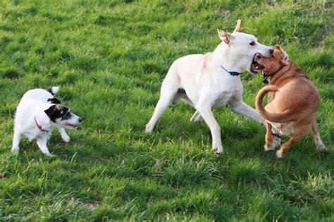 most dangerous breeds most dangerous dogs breeds image breeds puppies most dangerous dogs breeds