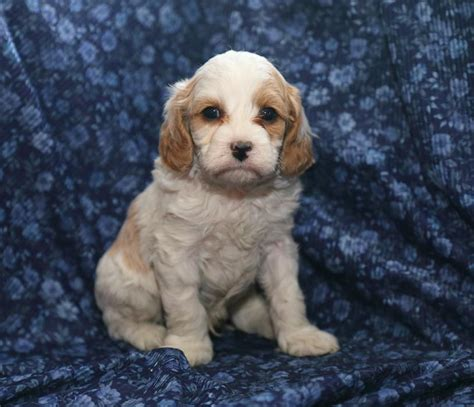 free puppies in pa craigslist lovable cavpoo pups puppyindex
