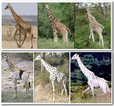 what color are giraffes i animals giraffes don t exist