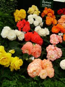 begonia color file begonia display jpg wikimedia commons