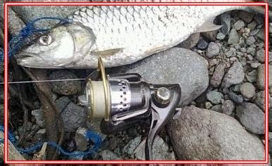 Pancing Wader cara mancing wader di sungai untuk pemula raja umpan