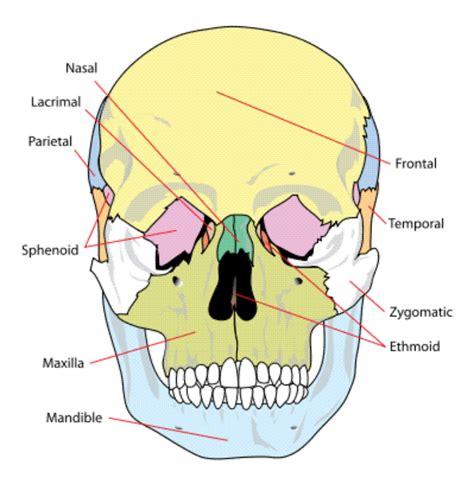skull anatomy skull anatomy page 6