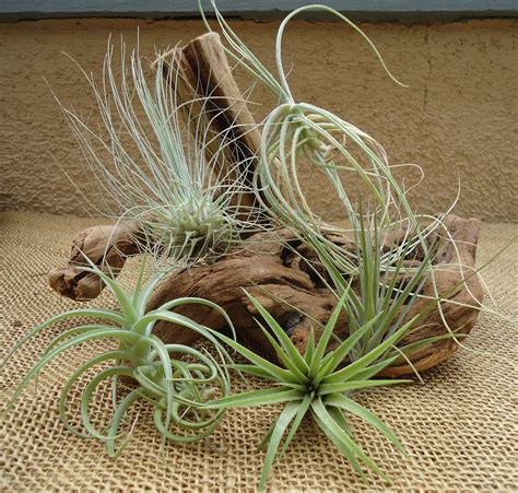 5 pack assorted tillandsia air plants