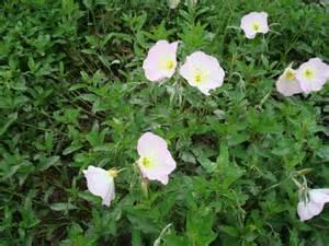 Primroses Flower - primrose showy evening