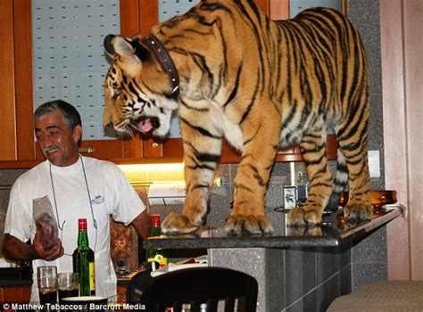 panjo the tiger keep it in our lifetime
