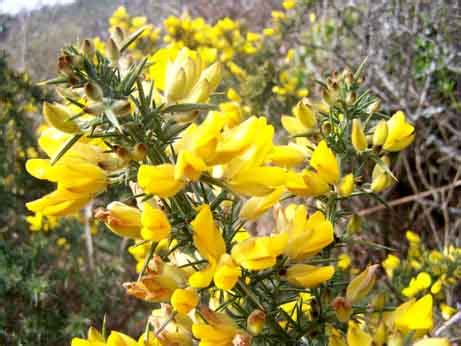 gorse fiori di bach gorse floridinamica