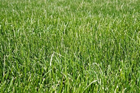 allergic to grass vernal grass allergy images