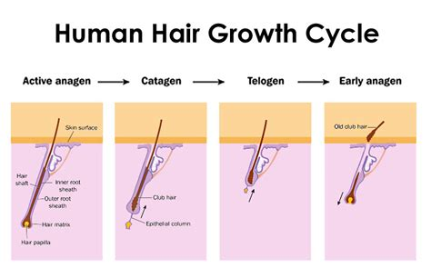 human cycle diagram facts and information about human hair moorgate hair