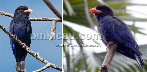 Burung Tengkek Buto tengkek buto lebih cerewet dari tiga kerabatnya om kicau