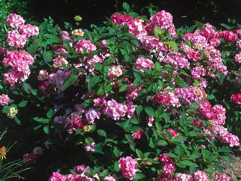 shade hydrangea hydrangea sun or shade diy