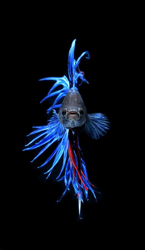 47 Best Images About Beta 71 best betta crown images on aquarium fish beautiful fish and betta