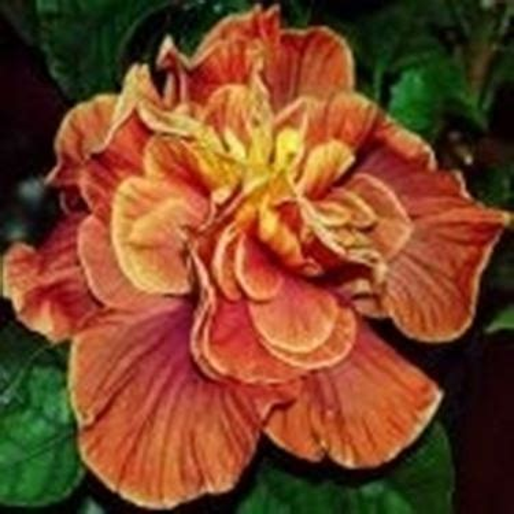 fiore ibiscus significato significato ibisco significato dei fiori ibisco