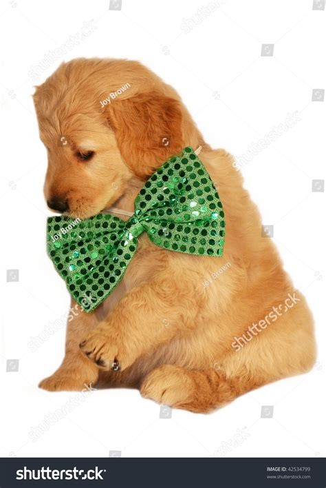 green golden retriever puppy adorable golden retriever puppy green bow stock photo 42534799