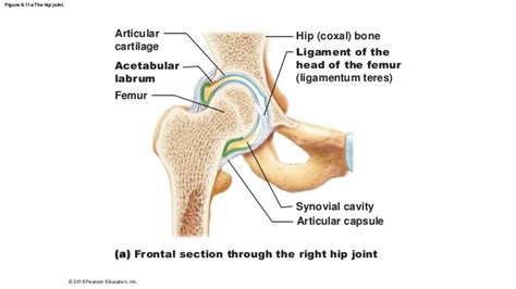 frontal section of hip joint 8 5 no vids