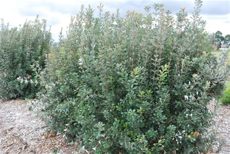 australian flowering shrub 4 new australian shrubs gardendrum