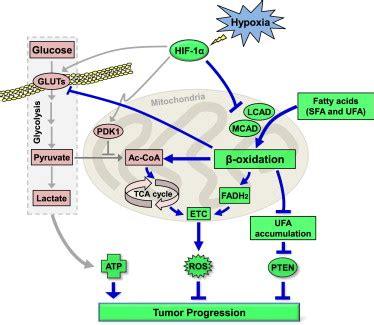 hif 1 mediated suppression of fatty acid oxidation is