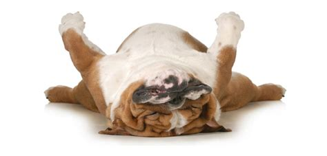 lazy house dogs top lazy dog breeds and their personality traits not in the dog housenot in the