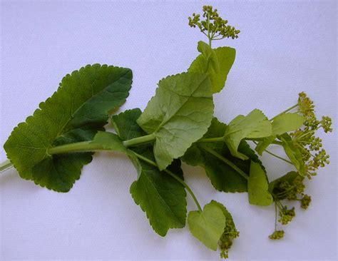botanischer garten der universität wien wien österreich smyrnium perfoliatum