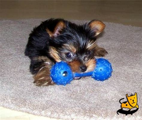yorkie chew toys pet information meet the breeds more sheknows