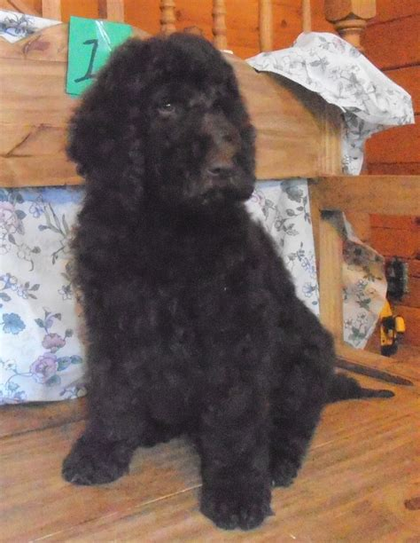 newfoundland poodle mix puppies for sale border collie newfoundland mix puppies for sale breeds picture
