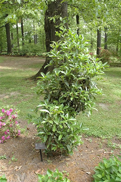 fragrant olive plant fudingzhu fragrant tea olive osmanthus fragrans