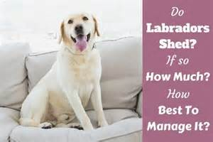 silver labrador retriever facts and controversy