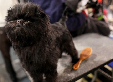 ewok puppy an ewok won best in show at westminster this year lobshots