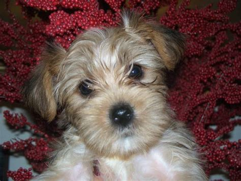 white yorkie for sale ckc white terrier puppy for sale adoption from