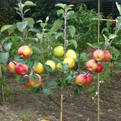 grafting fruit tree fruit tree grafting prospectrock org