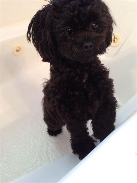 what does a shih poos tail look like 48 best images about black shih tzu on pinterest baby