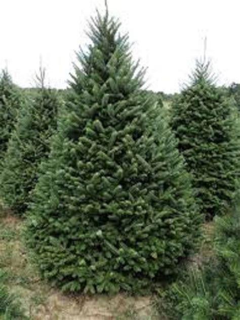 balsam tree abies balsamea balsam fir 30 seeds evergreen
