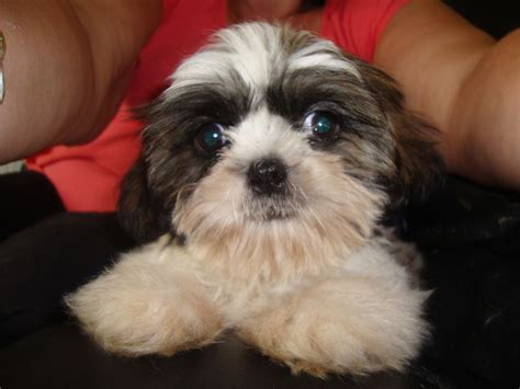 shih tzu puppy names shih tzu facts about shih tzu dogs scientific name for