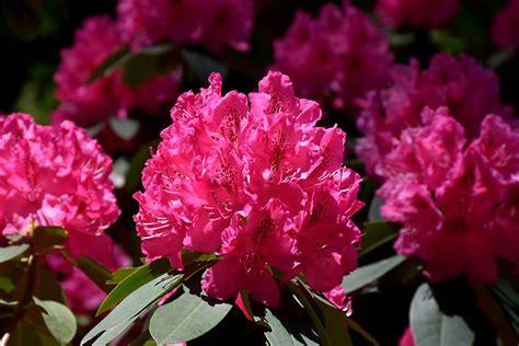 cynthia rhododendron rhododendron cynthia  issaquah