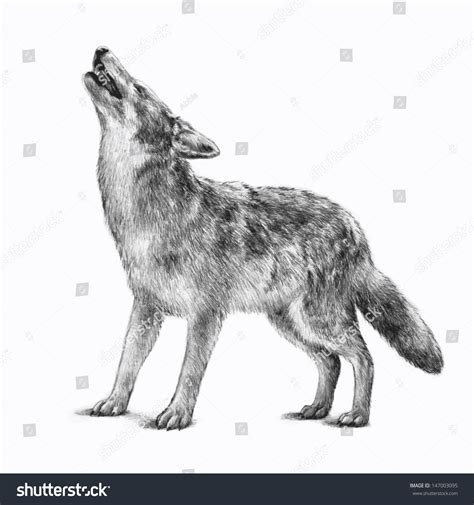 timberwolf color gray wolf clipart timberwolf pencil and in color gray
