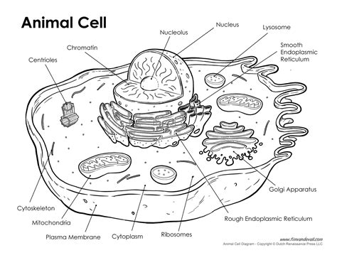 printable animal and plant cell diagram printable animal cell diagram labeled unlabeled and blank