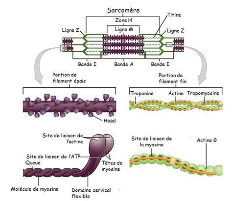 Le Filament by Physiologie Des Syst 232 Mes Int 233 Gr 233 S Les Principes Et