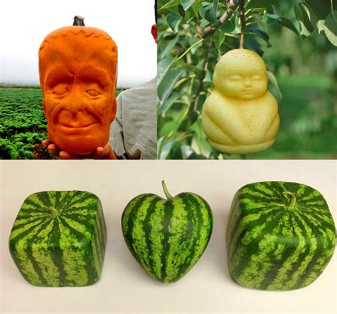 fruit molds these fruit molds let you grow shaped watermelons and